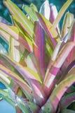 Fasciata del aechmea o piña híbrido rosado de la bromelia con el sunshin Imagen de archivo