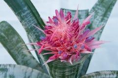Fasciata di Aechmea (ananas di bromeliaceae) Fotografie Stock Libere da Diritti