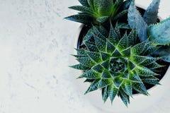 Fasciata di haworthia ed aloe succulenti vera in un vaso su fondo di marmo bianco Piante alla moda e semplici per lo scrittorio m Fotografia Stock Libera da Diritti