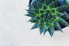 Fasciata di haworthia ed aloe succulenti vera in un vaso su fondo di marmo bianco Piante alla moda e semplici per moderno Immagini Stock Libere da Diritti