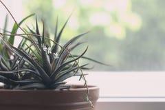 Fasciata di haworthia ed aloe succulenti vera in un vaso su fondo di marmo bianco Piante alla moda e semplici per moderno Fotografia Stock Libera da Diritti
