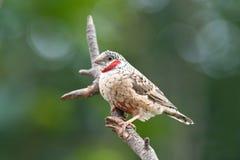 Fasciata do amadina do passarinho do Cut-throat Fotos de Stock Royalty Free