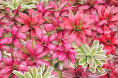 Fasciata variopinto di bromeliacea dei fiori rosso ornamentale e verde o di aechmea che fiorisce sulla parete per fondo immagini stock