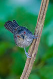 Fasciated Antshrike close-up Royalty Free Stock Image