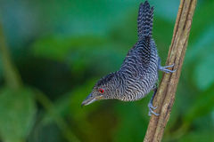 Fasciated Antshrike close-up Royalty Free Stock Photos