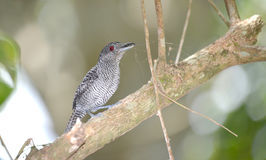 Fasciated Antshrike Male Royalty Free Stock Images
