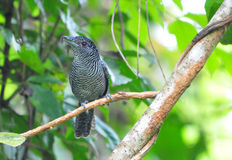 Fasciated Antshrike Stock Photo