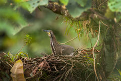 Fasciated Tiger-Heron Stock Photography