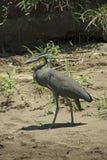 Costarikansk fågel Arkivbilder