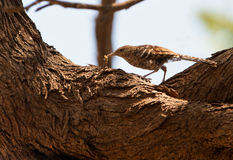 Fasciated Wren Bird and Caterpillar Royalty Free Stock Image