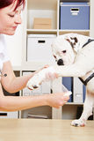 Fasciatura mettente veterinaria sulla zampa Fotografie Stock Libere da Diritti