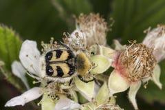 Fasciatus de Trichius, abejorro de la abeja, escarabajo de abeja de Baja Sajonia, Alemania Imagen de archivo