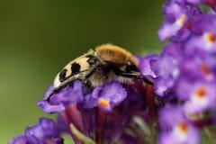 Fasciatus de Trichius del escarabajo de abeja Imágenes de archivo libres de regalías