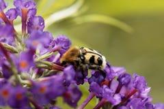 Fasciatus de Trichius del escarabajo de abeja Fotografía de archivo