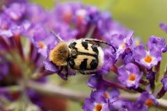 Fasciatus de Trichius del escarabajo de abeja Imagen de archivo