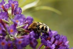 Fasciatus de Trichius del escarabajo de abeja Fotografía de archivo libre de regalías