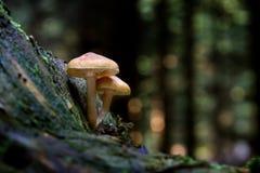 Fasciculare de Hypholoma do topete do enxofre na floresta do verão foto de stock
