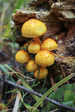 Fasciculare Hypholoma грибов Стоковые Фотографии RF