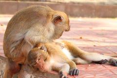 fascicularis爱猕猴属猴子 库存图片