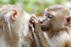 Fascicularis a coda lunga del Macaca del macaco di Granchio-cibo del macaco Immagini Stock Libere da Diritti