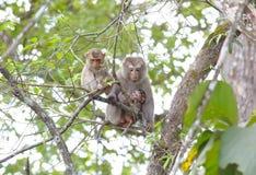 Fascicularis a coda lunga del Macaca del macaco di Granchio-cibo del macaco Fotografia Stock Libera da Diritti