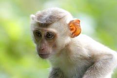 Fascicularis a coda lunga del Macaca del macaco di Granchio-cibo del macaco Fotografie Stock