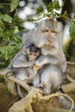 Fascicularis met lange staart van Macaque - Macaca- stock foto's
