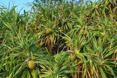 Fascicularis perfumados do pinheiro ou do Pandanus do parafuso ou odorifer do Pandanus ou kewra ou keora ou k imagem de stock royalty free