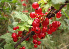 Fascicule of red currants Royalty Free Stock Photo