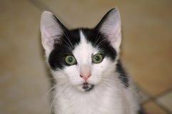 Fascinated кот стоковые фотографии rf