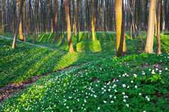 Fascinated forest with white flowers. Royalty Free Stock Image