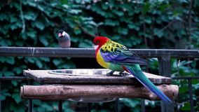 Fascinating close up 4k view on rainbow colorful tropical birds parrots feeding drinking in wild nature environment. Fascinating close up view on rainbow stock video footage