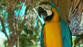 Fascinating colorful tropical species macaw bird ara parrot sitting on palm tree observing nature looking in 4k close up. Fascinating colorful calm tropical stock video footage
