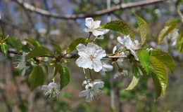 Fascinating delicate cherry color spring on May stock image
