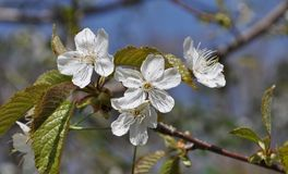 Fascinating delicate cherry color spring on May royalty free stock photos