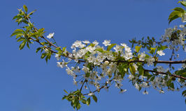 Fascinating delicate cherry color spring on May stock photos