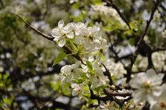 Fascinating delicate pear color spring on May Royalty Free Stock Images