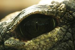 The fascinating depths of crocodiles eye stock images