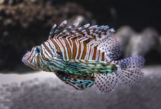 Beautiful Lionfish in the sea stock photography