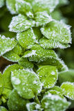 Fascinating macro shot of frozen coniferous plant  with icy drops Stock Image