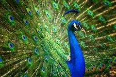 Fascinating peacock Royalty Free Stock Photography