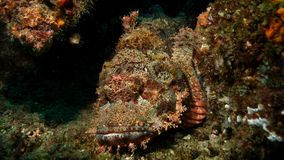 Fascinating shot of a stone fish Royalty Free Stock Image