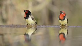 Marvelous steady low angle blurred close up view on small little birds drinking water from mirror surface water puddle stock video