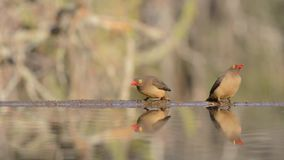Spectacular steady low angle blurred close up view on small little birds drinking water from mirror surface water puddle stock video footage