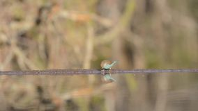 Beautiful steady low angle blurred close up view on small little birds drinking water from mirror surface water puddle stock video footage