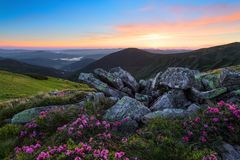 Fascinating sunrise. Scenery with high mountains. Pink rhododendrons among grey stones. Nice view for nature lovers. A nice summer day Stock Photos