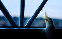 Fascination beyond the window. A cockatiel staring out the window Stock Photography