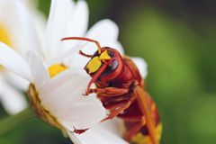 Fascination. Hornet sitting on a flower and looking at you Royalty Free Stock Photography