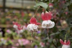 Fascinerende fuchsia in tuin   Stock Afbeelding