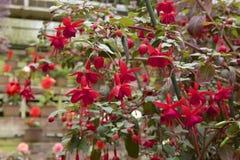 Fascinerende fuchsia in tuin   Royalty-vrije Stock Afbeeldingen